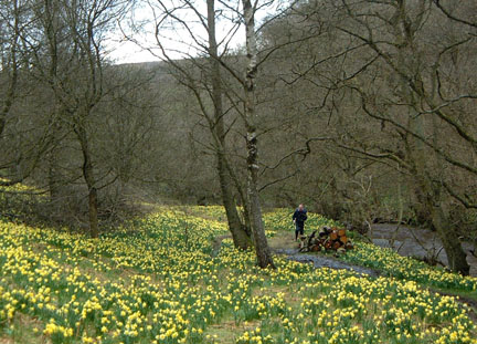 Stuart among the daffodils, Farndale/Photo by Arnold Underwood/April 2004