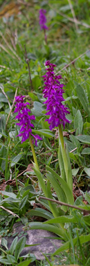 Early Purple Orchids in Deepdale/ from a photo by Arnold Underwood, May 2008