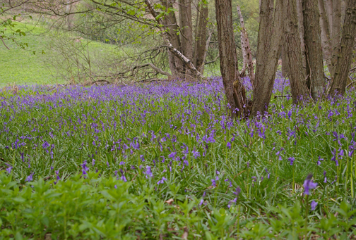 Bluebells in Riccaldale/photo by Arnold Underwood, May 2008
