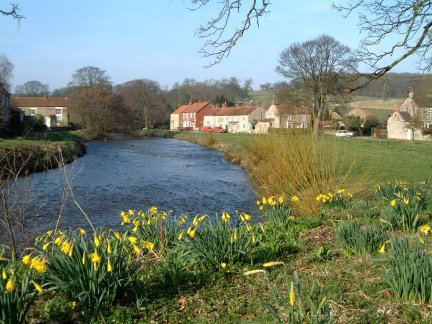Daffodils by the River Seven at Sinnington/photo by Arnold Underwood