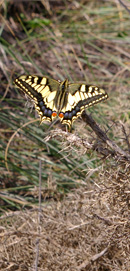 Swallowtail butterfly at La Cruz de Pinto/ from a photo by Arnold Underwood, Oct 25th 2007